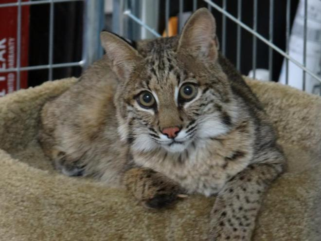 lbr-bobcat
